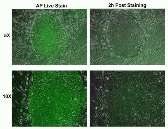 Figure 2:  Live AP Staining is reversible.